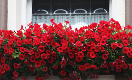 Flowers on windowsill. Beautiful red flowers on a windowsill on a summer sunny day royalty free stock photo