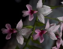 Flowers of wine-jag orchid Royalty Free Stock Images
