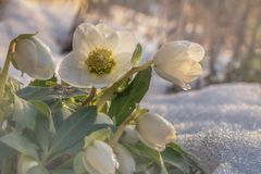 Flowers in winter, A flowering hellebore Helleborus niger in the snow in sunlight Stock Image