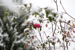 Flowers in the winter garden. Flower under snow Royalty Free Stock Images