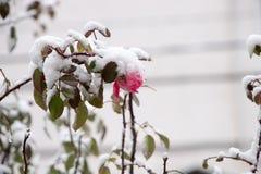 Flowers in the winter garden. Flower under snow Stock Image