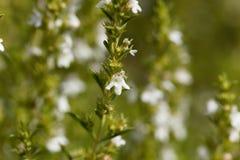 Flowers of Winter savory, Satureja montana Stock Photo