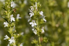 Flowers of Winter savory, Satureja montana. A herb from the Mediterranean region used as medicine and in cuisine Stock Photography