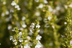 Flowers of Winter savory, Satureja montana. A herb from the Mediterranean region used as medicine and in cuisine Royalty Free Stock Photos