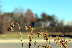 Flowers in winter. Withered dry flowers in winter Stock Photography