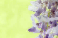 Flowers of wisteria, blurred, space for text Royalty Free Stock Photography