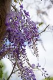 Flowers of wisteria, a climbing plant of the legume family on a pergola, copy space. Selected focus stock image