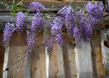 Flowers of wisteria, a climbing plant of the legume family on a wooden facade, copy space. Hanging flowers of wisteria, a climbing plant of the legume family on royalty free stock photos