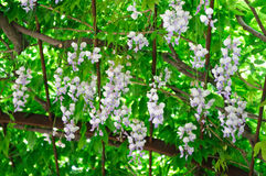 Flowers of Wisteria sinensis. Wisteria sinensis flowers in a garden royalty free stock photos