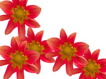 Flowers With Red Petals Royalty Free Stock Image
