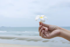 Flowers  in women's hands. White flowers frangipani (plumeria) in women's hands against the sea beach and blue sky Stock Images