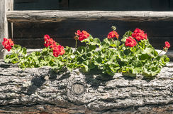 Flowers in wooden planter Stock Photos