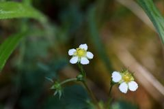 Flowers of woodland strawberries Stock Photography