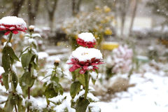 Flowers wrapped up the first snow. Beautiful flowers under the first snow Stock Photo