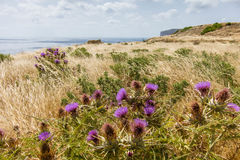 Flowers Xlendi Bay Gozo. Flowers and Fields near Xlendi Bay Gozo Stock Image