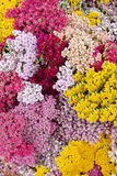 Flowers yarrow Stock Image