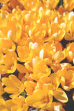 Flowers, yellow. Yellow flowers, easter or spring flowers Stock Images