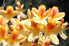 Flowers of yellow azalea Stock Images
