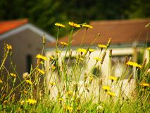 Flowers. Yellow flowers on the background of the house Royalty Free Stock Image