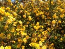 Flowers. Yellow beautiful flower s Royalty Free Stock Photo
