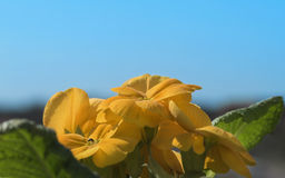 Flowers of a yellow beautiful primrose, against a background of blue sky Royalty Free Stock Images