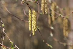 Flowers of a Yellow birch. Betula alleghaniensis Royalty Free Stock Photo