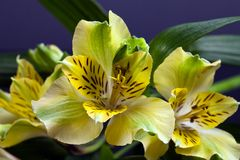 Flowers of yellow blooming alstroemeria with leaves Stock Image
