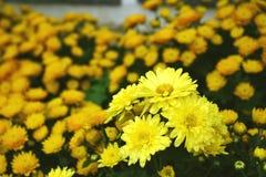 Flowers yellow blooming ,Gerbera , Barberton daisy royalty free stock photo