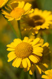 Flowers of yellow camomile Stock Photography