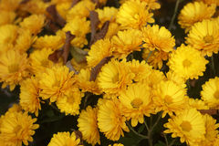 Flowers yellow chrysanthemums. One color chrysanthemum in autumn garden Stock Photography