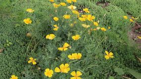 Flowers yellow 2. Flowers yellow color from bulgaria in jambol stock footage