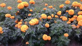 Marigold Flowers yellow colour stock images