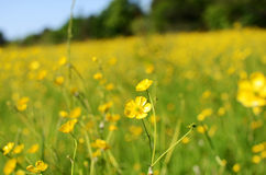 Flowers. Yellow flowers in countryside meadow stock photos