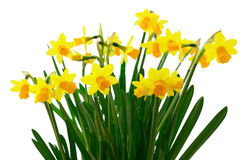 Flowers yellow daffodils Royalty Free Stock Photography