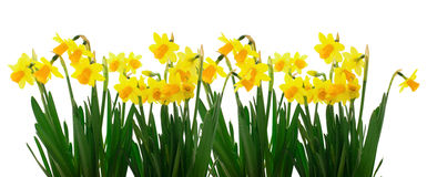 Flowers yellow daffodils stock photography