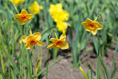 Flowers yellow daffodils Royalty Free Stock Images