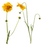 Flowers of yellow daisy-gerbera Royalty Free Stock Images