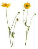 Flowers of yellow daisy-gerbera. Two flowers of yellow daisy-gerbera isolated on white Stock Photography