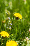 Flowers yellow dandelion meadow Stock Images