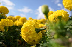 Flowers. Yellow flowers in a flowerbed photographed as they see themselves Royalty Free Stock Photos