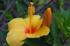 Flowers of a yellow hibiscus. Royalty Free Stock Image
