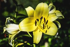 Flowers of a yellow lily close-up in early summer evening. Flowers of a yellow lily close-up in early summer evening royalty free stock image