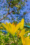 flowers yellow lily Stock Photography
