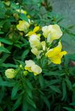 Flowers of the yellow lion`s pharynx macro on nature background royalty free stock photos