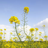 Flowers of yellow mustard seed in field Stock Photo