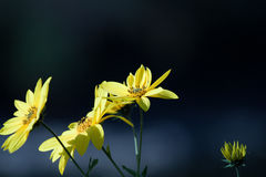 Flowers. Yellow flowers in nature during summer Stock Images