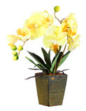 Flowers of yellow orchid Stock Photography
