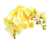 Flowers of yellow orchid Stock Photos