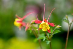 Flowers of yellow and red aquilegia in the garden. Flowers of yellow and red aquilegia in the spring garden royalty free stock images
