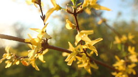 Flowers yellow Rhododendron stock footage